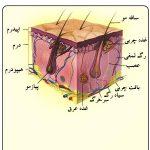 مقاله در مورد ساختمان پوست