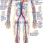 مقاله درمورد دستگاه گردش خون انسان