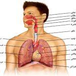 مقاله درمورد دستگاه تنفسی