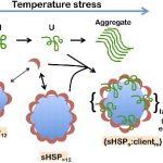 مقاله در مورد SHSP و مقاومت به تنش گرما در گیاهان