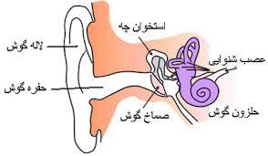 گوش و آناتومی کاربردی