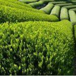 مقاله در مورد کشت چای در زمینهای جلگه ای و یا دشت