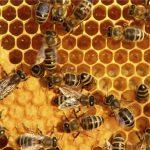 مقاله در مورد اصلاح نژاد زنبور عسل