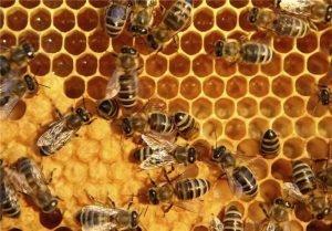 اصلاح نژاد زنبور عسل